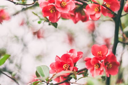 red flowers on the branches flowering chaenomeles.  Close-up of many decorative red  flowers in a tree in full bloom in a garden in a sunny spring day, beautiful outdoor floral background Zdjęcie Seryjne