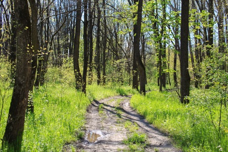Winding Footpath through Sunny Green Forest of Deciduous Trees in Summer