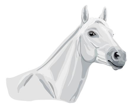 arabian horse: white arabian horse head Illustration