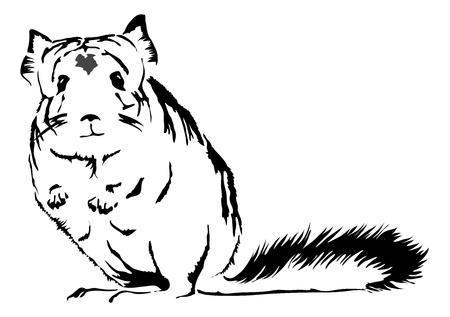 lanigera: cute Chinchilla (chinchilla lanigera) looking curious