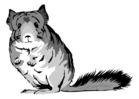 cute Chinchilla  chinchilla lanigera  looking curious Vector