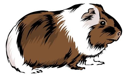 świnka morska: Guinea Pig siedzi na dole i patrzÄ…c ciekawy