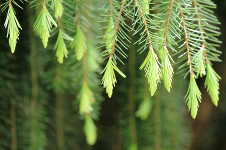 The pine leaf photo