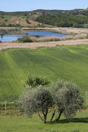 Olive tree by Accesa lake (Massa M.ma, Tuscany)  photo