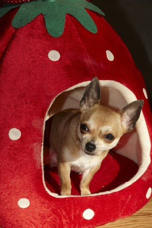 appears: chihuahua appears from its dogs bed Stock Photo