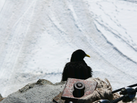 This bird was photographed at the jungfraujoch at an altitude of 3466 meters.