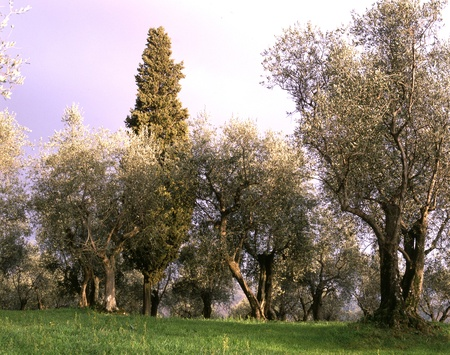 Landscape with cultivation of olive trees.