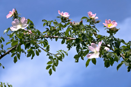 The Canina rose spontaneously grows in the hills of Liguria and in particular in the Cinque Terre