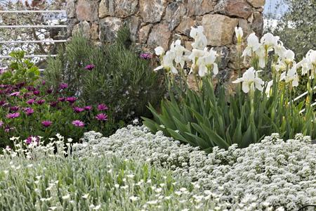 The flowers of Cerastium tomentosum, African daisy (Dimorphoteca pluvialis), Iberis and Iris