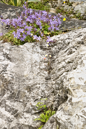 Carrara, Tuscany, Italy. In the village of Colonnata there are flowers of wild plants that are born among the rocks. The small gardens of the village host plants typical of the Apuan Alps. Stockfoto
