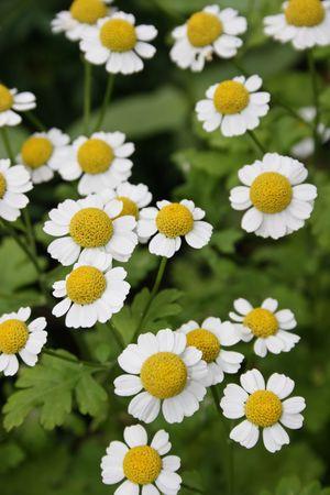 camomiles daisywheels Stock Photo - 573425