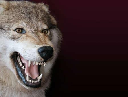 gingivitis: wolf Stock Photo