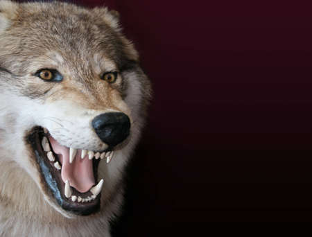 fangs: wolf Stock Photo