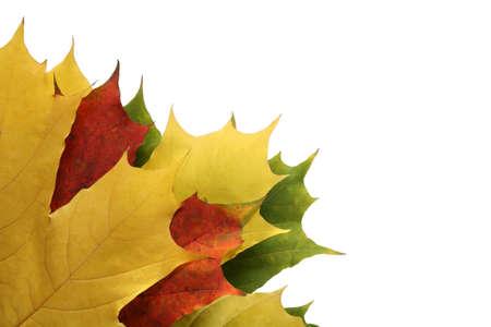 crimson colour: maple leaves Stock Photo