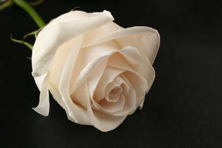 white rose on black Stock Photo - 811236