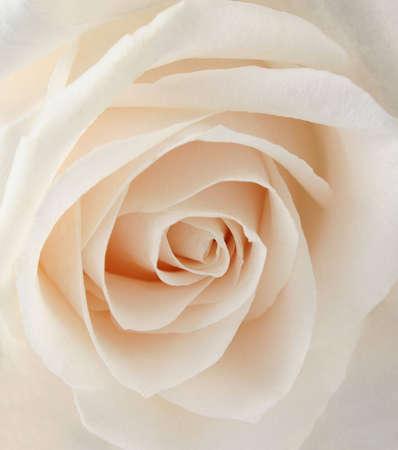 white rose closeup Stock Photo - 811237