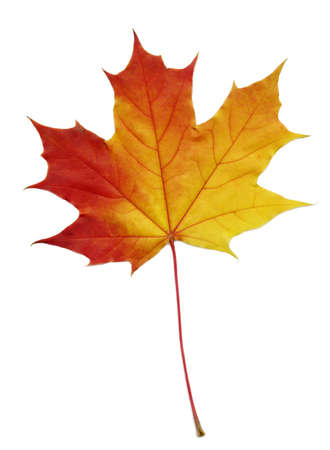 juharfa: maple leaf