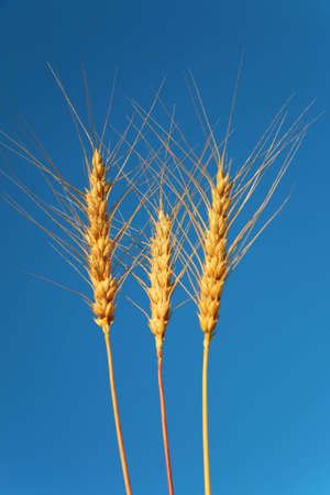 Three ears of wheat against background of sky photo