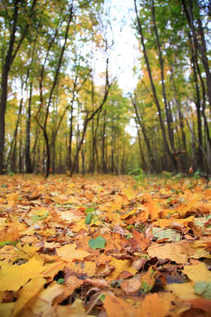 humus: Yellow leaves on earth in park, ready for humus