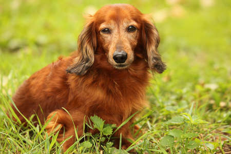 dachshund outdoor closeup photo