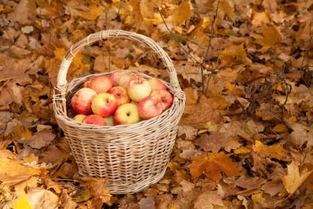 Basket with apples stand on earth on maple leaves photo