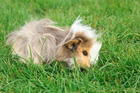 cute hamster: Guinea pig on grass
