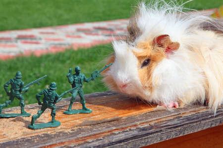 cavie: Cavia resiste al soldato giocattolo