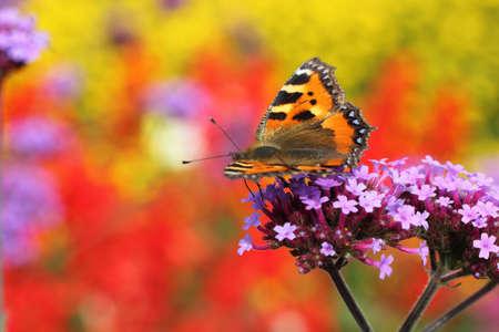 pokrzywka: pokrzywka motyl w profilu siedzi na purpurowy heliotropu kwiat, makro photography Zdjęcie Seryjne
