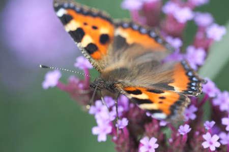 pokrzywka: pokrzywka Motyl siedzi na purpurowy kwiat heliotropu, Makrofotografia