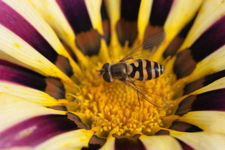 bee sitting on a blossoming flower Gazania afternoon. macro shooting photo