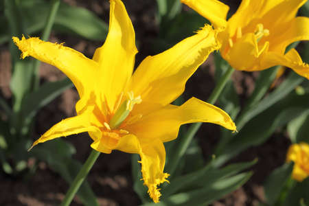 sort out: closeup of flowerbed with bright beautiful yellow come out tulip