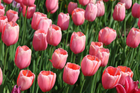 menton: closeup of flowerbed with bright beautiful pink tulips, Menton sort Stock Photo
