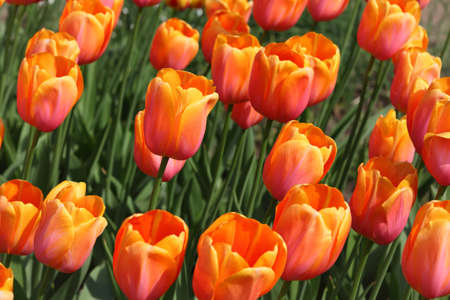 yuri: closeup of flowerbed with bright beautiful orange tulips, Yuri Gagarin sort Stock Photo