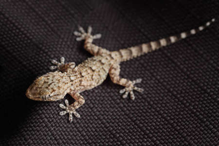 mandatariccio: brown spotted gecko reptile on black fabric, front view