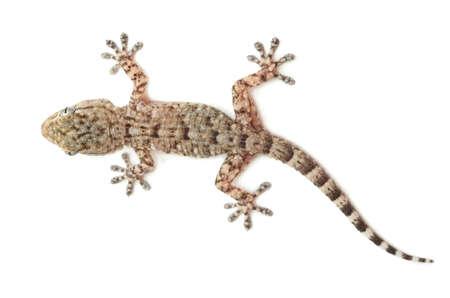 jaszczurka: brunatnymi plamami gecko gadów na białym tle, widok z góry