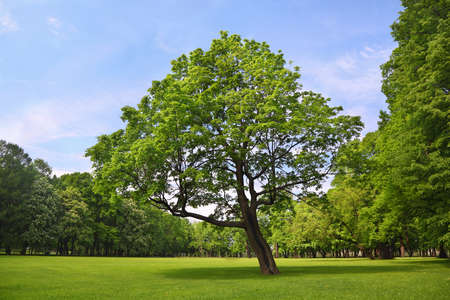 branchy: Branchy maple stands in  center  park