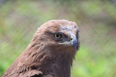 predatory: Head of predatory bird is hawk in zoological garden
