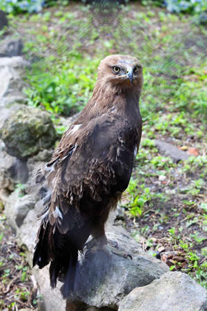 Predatory bird  hawk sits on stone in zoological garden, view through washed out net photo
