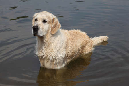 soppy: Wet large white dog standing in water and looks into distance