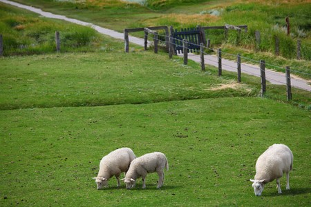 Some sheep out at feed Stock Photo - 7517820