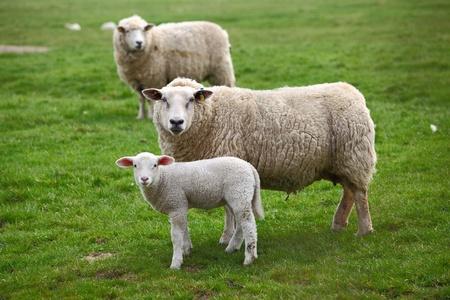 oveja: Dos ovejas y un cordero Foto de archivo