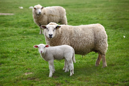 naivety: Two sheep and a lamb