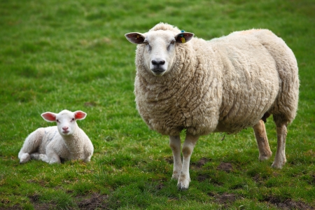 sheep wool: A sheep and a lamb