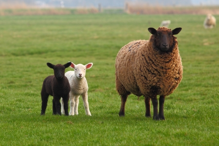 A sheep and a white lamb and a black lamb