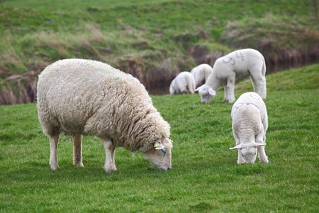 naivety: Sheep and lamb