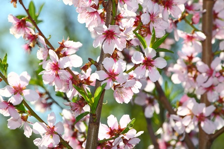 Cherry almond blossom in spring photo