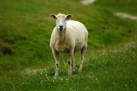 Sheep in green meadow photo
