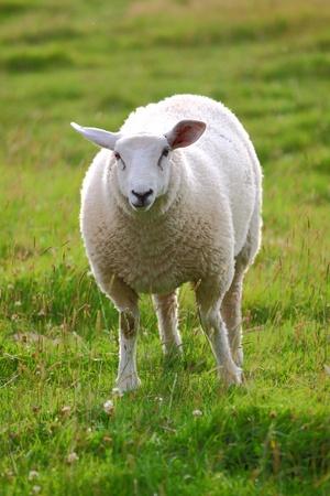 A single sheep in green meadow