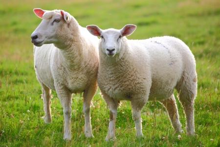 緑の牧草地で 2 つの羊