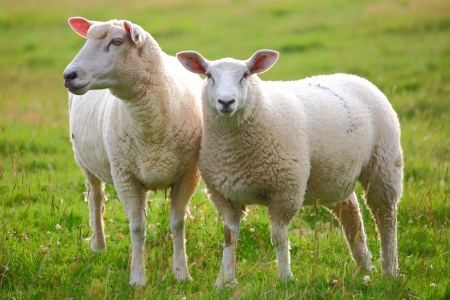 Two sheep in green meadow